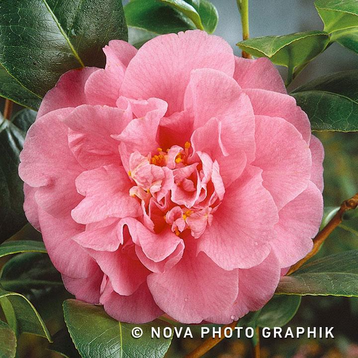 Camellia japonica'Triomphant'