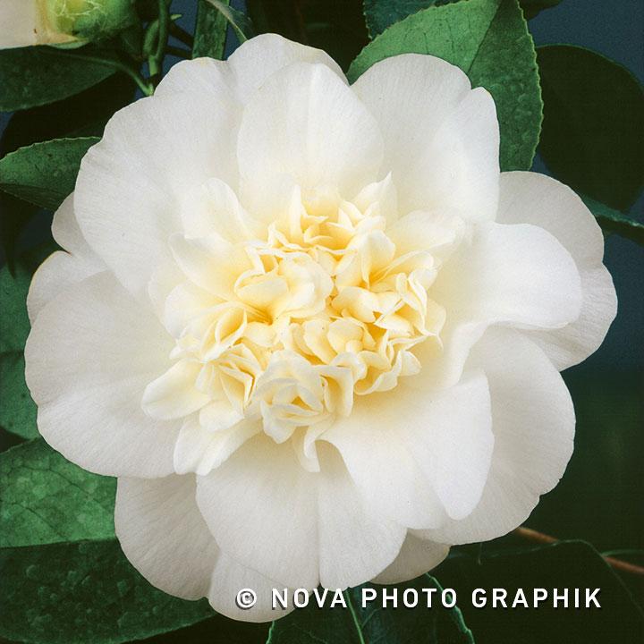 Camellia japonica'Nobilissima'