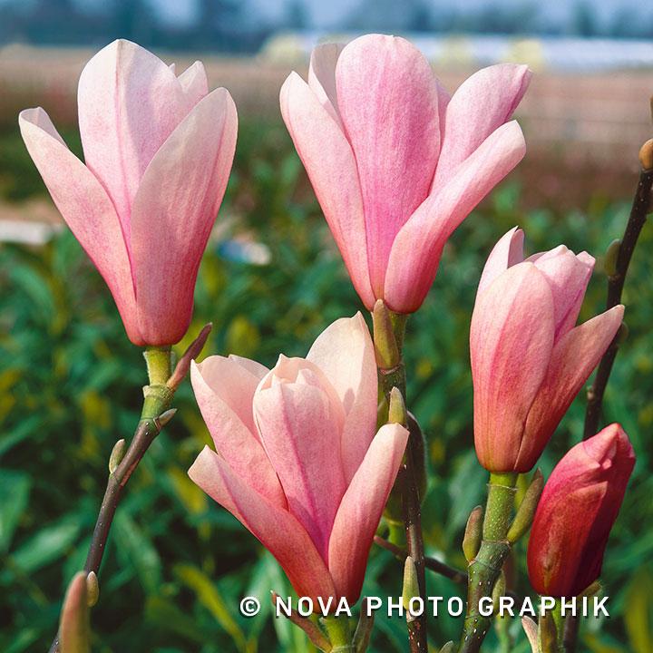 Magnolia'Heaven Scent'