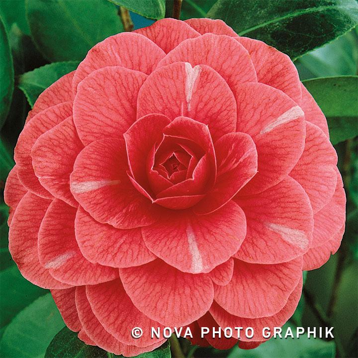 Camellia japonica'Principessa Baciocchi'