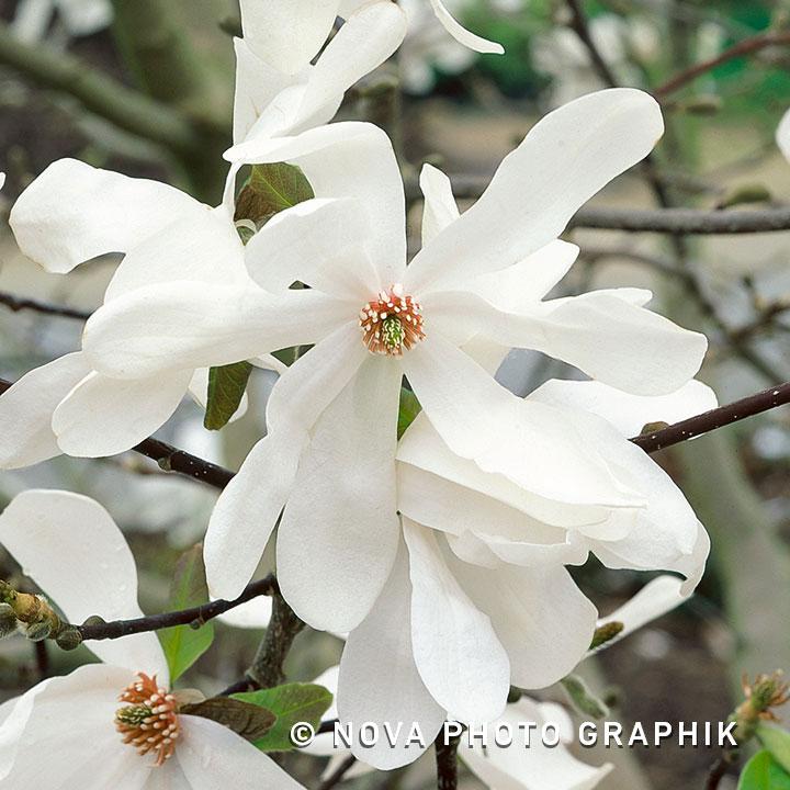 Magnolia loebneri'Merrill'