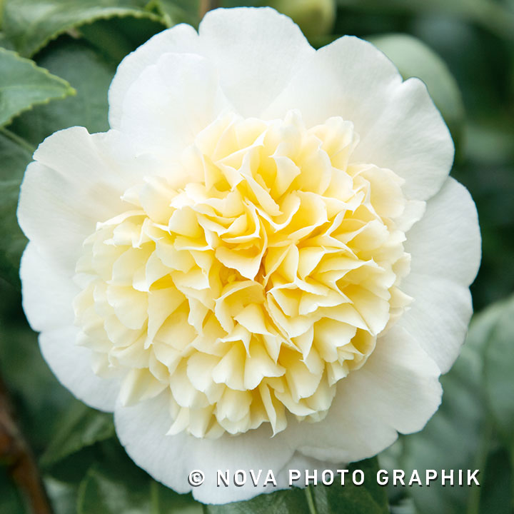 Camellia japonica'Brushfield's Yellow'