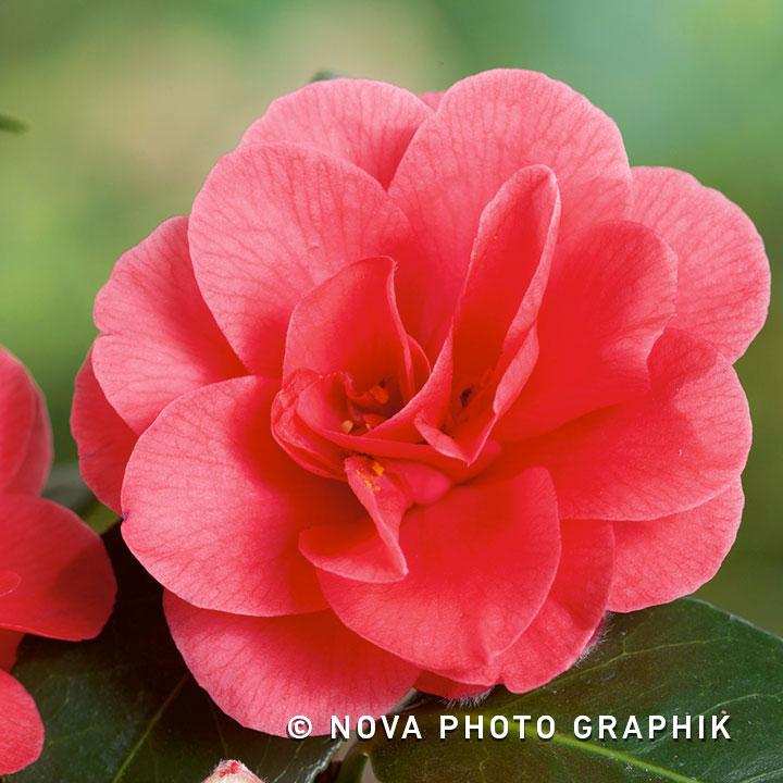 Camellia reticulata'Mary Williams'