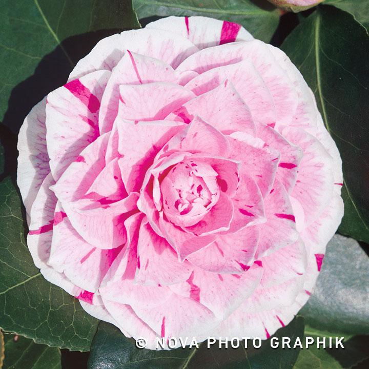 Camellia japonica'Bonomiana'
