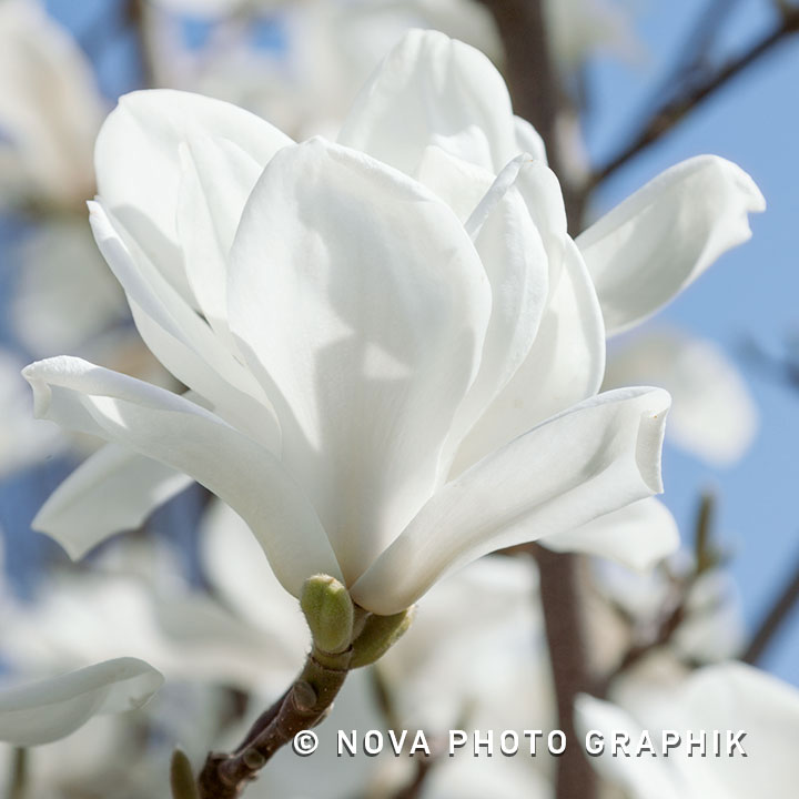 Magnolia soulangeana'Lennei Alba'