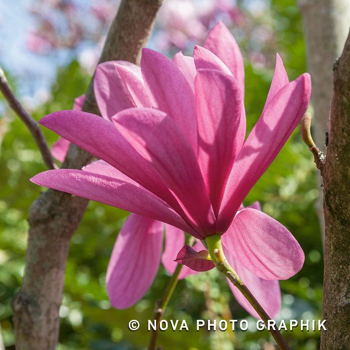 Magnolia'Galaxy'