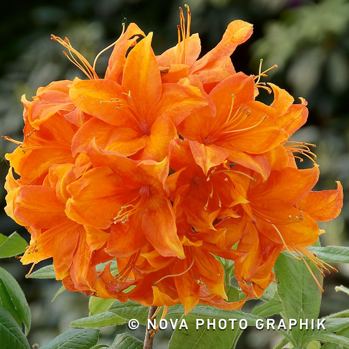 Azalea kh. 'Golden Eagle'