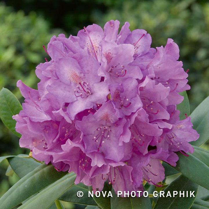 rhododendron ponticum roseum elegans green gift. Black Bedroom Furniture Sets. Home Design Ideas