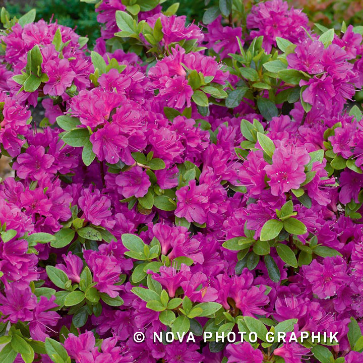Azalea 'Geisha Purple'