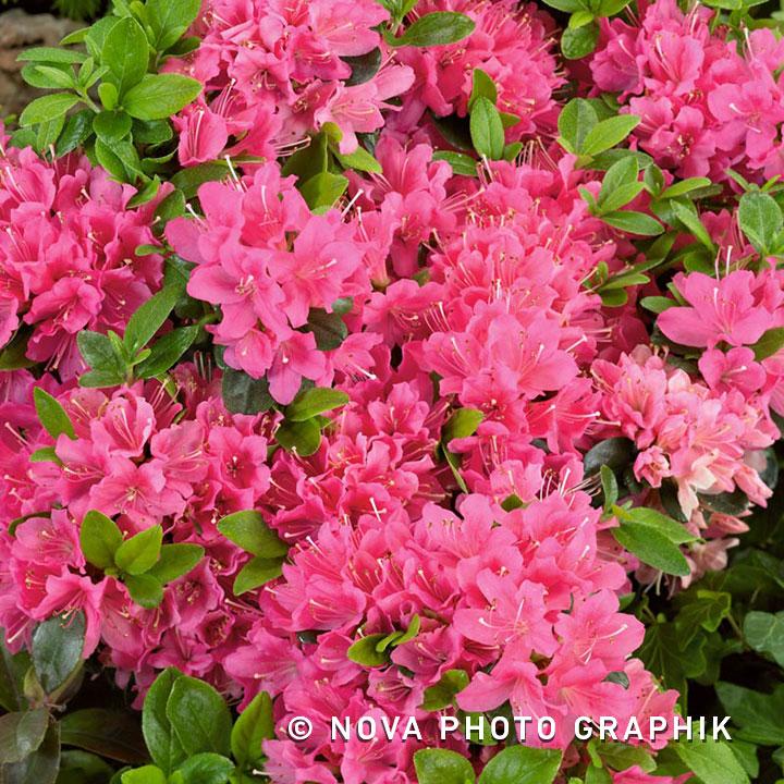 Azalea 'Geisha Pink'