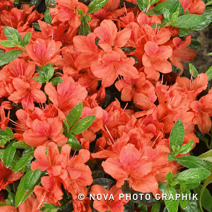 Azalea japonica archieven green gift for Azalea japonica