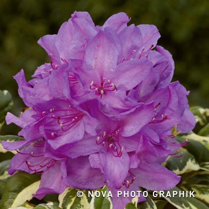 Rhododendronponticum 'Variegatum'