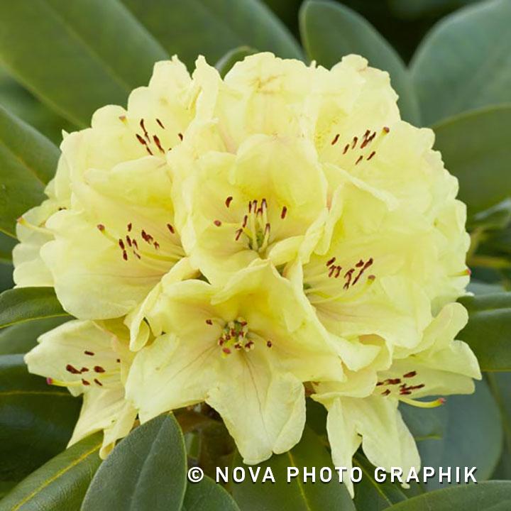 Rhododendron'Saffrano'
