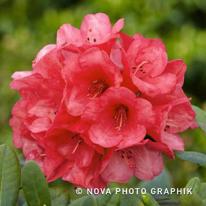 rhododendron yakushimanum surrey heath green gift. Black Bedroom Furniture Sets. Home Design Ideas