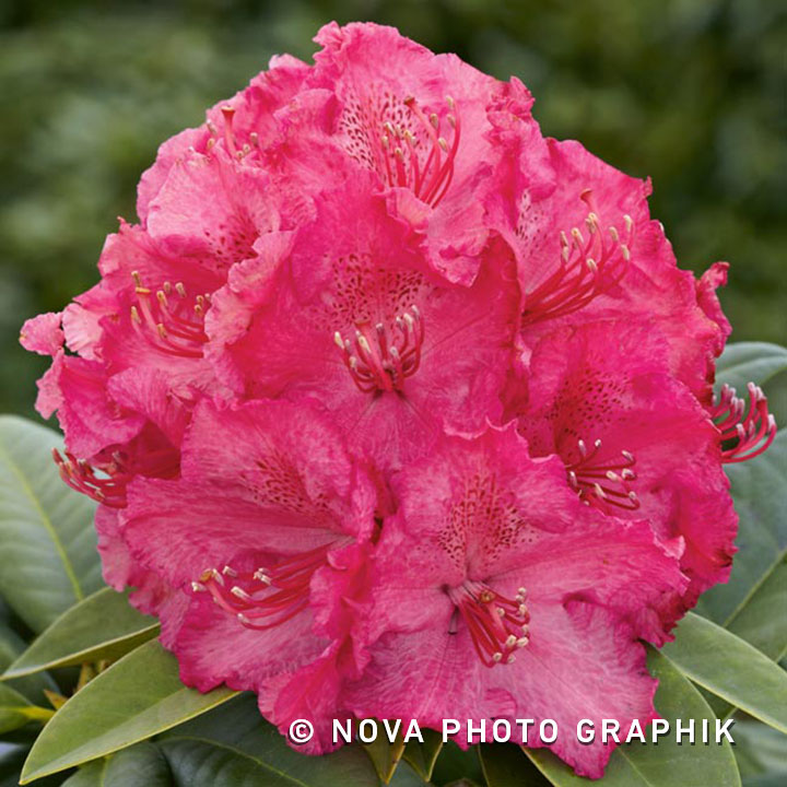 Rhododendron 'American Beauty'